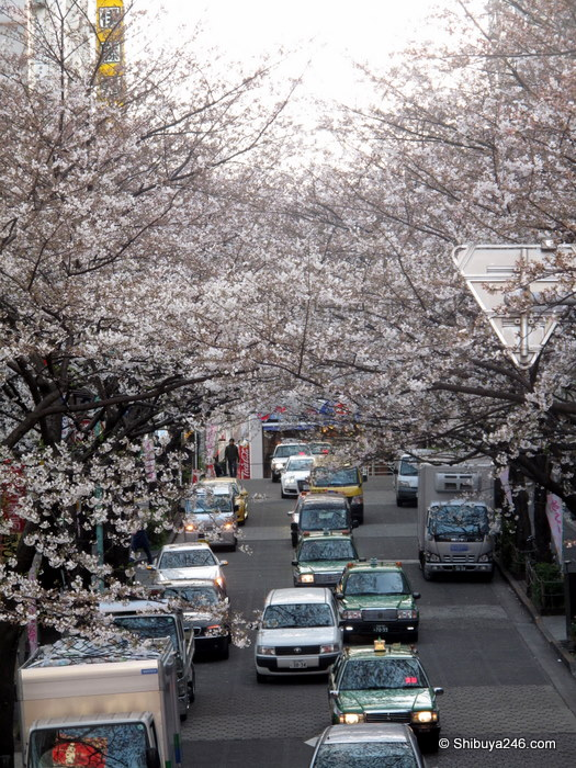 Sakura coming out slowly this year - Sakuragaoka-cho