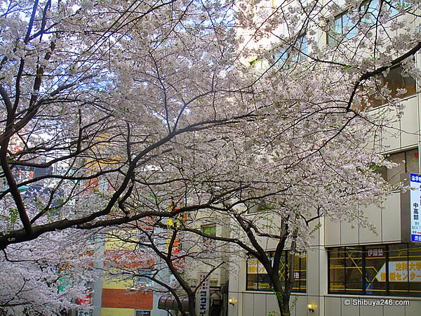 Sakura at Sakuragaoka-cho