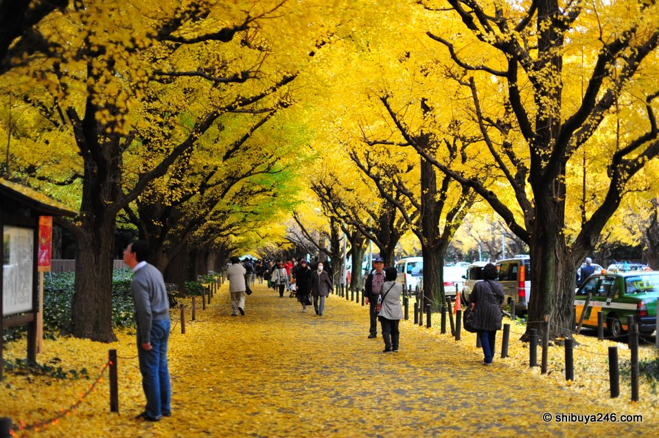 The yellow ginkgo leaves made for a great scene as you walk down the main street.
