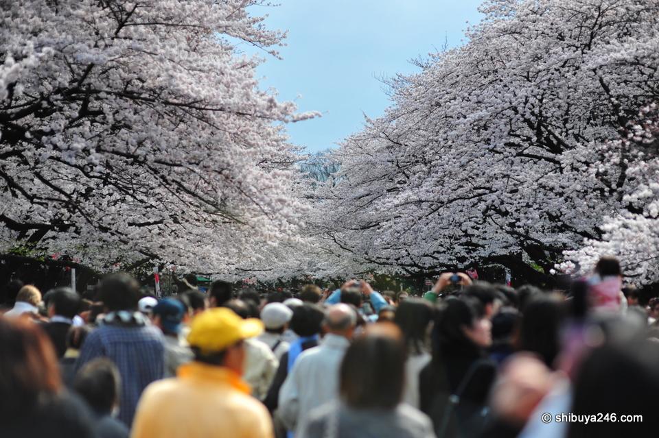 Ueno Park, Sakura Hanami