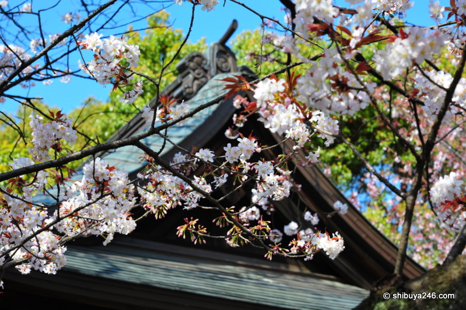 Beautiful colors of the Cherry Blossom contrasting with the wooden structure.