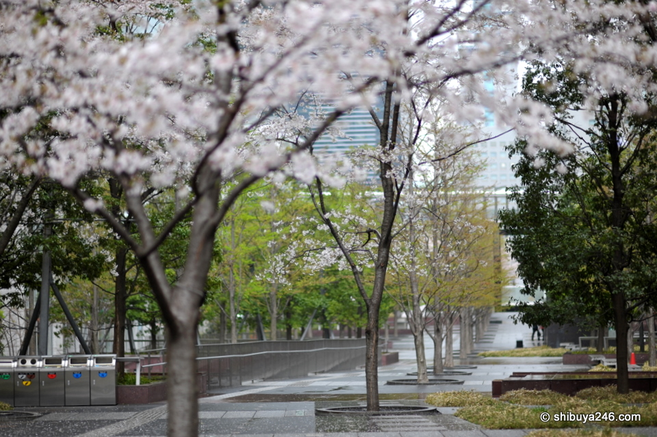Looking down the park, the sakura color was really nice in the light rain.