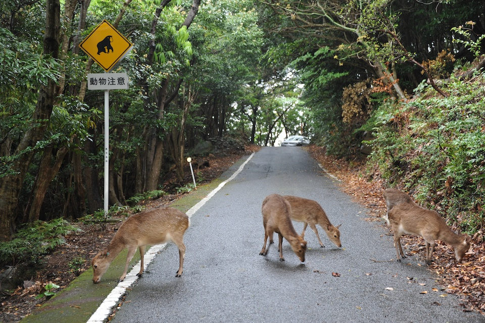 Deer on the road before heading into the forest